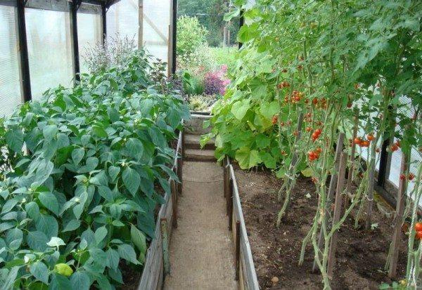 Помидоры и перец в одной теплице отлично уживаются