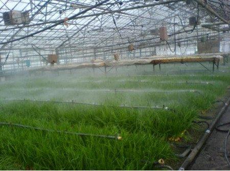 При выращивании большого количества зеленого лука, лучше его поливать при помощи системы капельного орошения, как показано на фото.