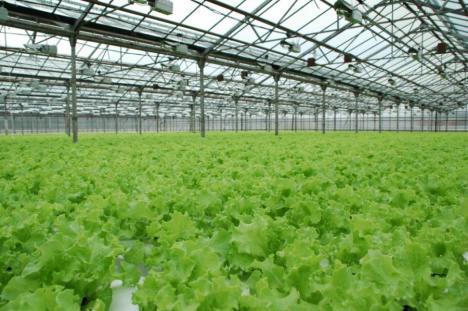 Промышленная теплица для выращивания зелени круглый год