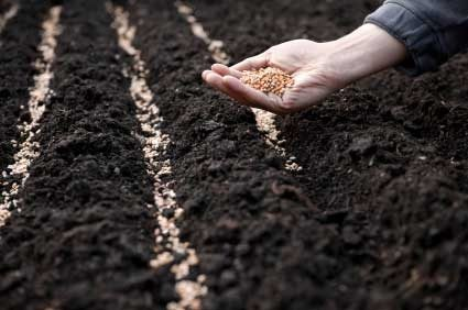 Процесс посева луковых семян на грядки.