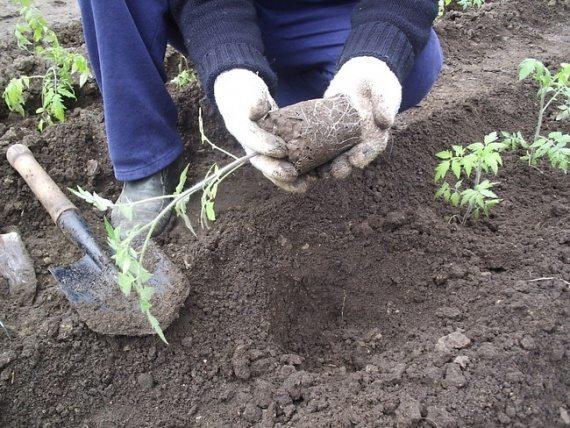 Процесс высадки рассады в грунт