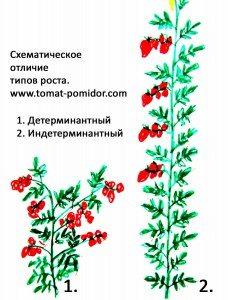 Растения бывают индетерминантные и детерминантные.