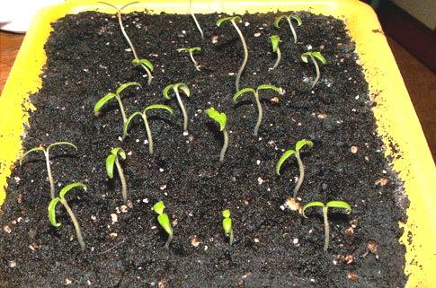 Семена сеют в ящички и ставят их в теплое место, накрыв пленкой.