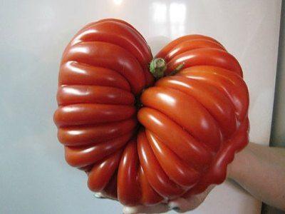 Сеньор-помидор массой 1,5 кг сорта Итальянский рифленый