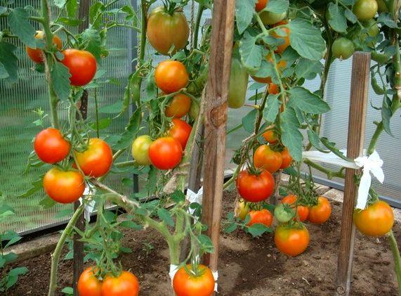 Совместно с томатом в парниках  хорошо выращивать шпинат.