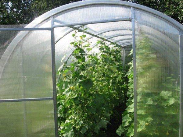 Теплица, освещенная солнцем, защищенная от сквозняков – идеальное место для выращивания.