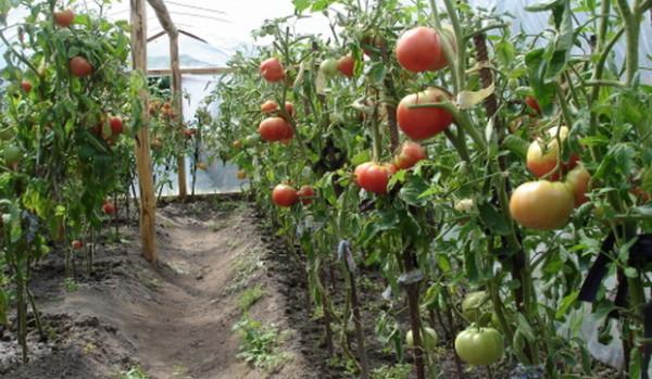 Томаты – культура теплолюбивая, поэтому их часто выращивают в условиях закрытого грунта.