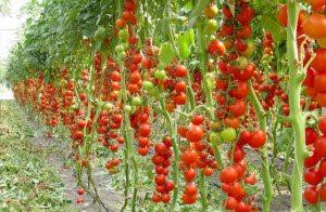 Урожай на высокорослых кустах.