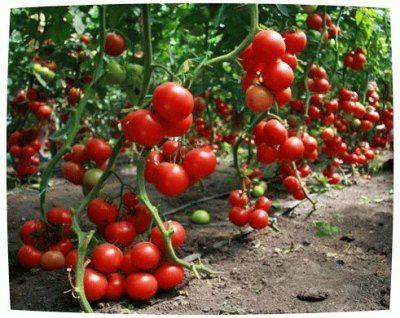 Урожай тепличных томатов