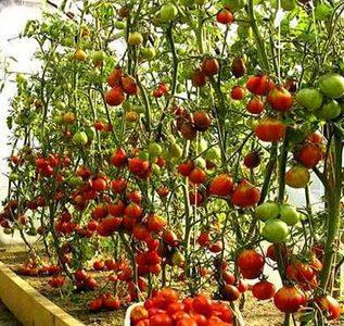 Урожайная грядка в теплице