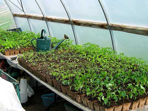 Успешное выращивание рассады перца в теплице начинается в феврале.