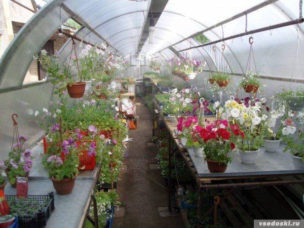 Выгодное дело - выращивание рассады цветов в теплице на продажу для получения ранних бутонов.
