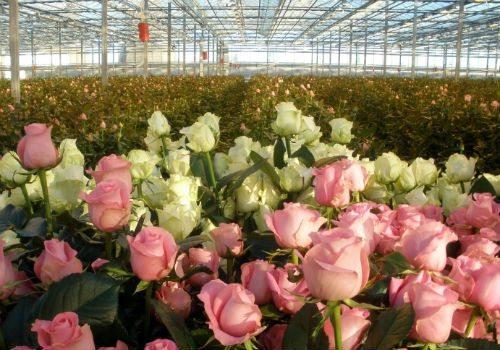 Выгонка роз в теплице – прибыльный вариант малого бизнеса.