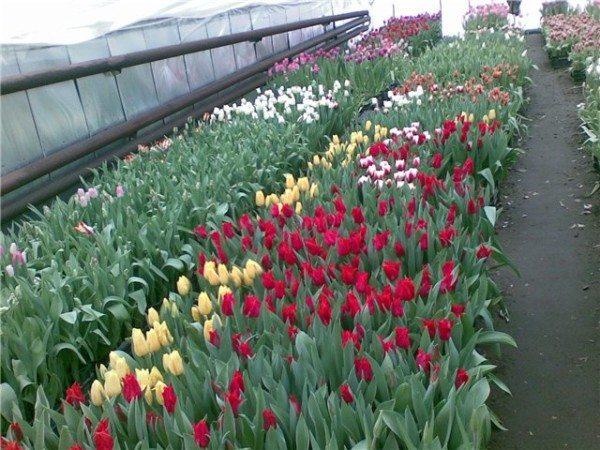 «Выгонка» тюльпанов к празднику
