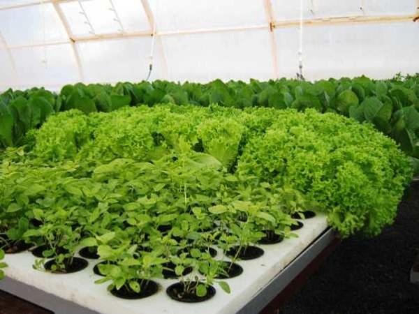 Выращивать зелень можно не только для себя, но и для продажи