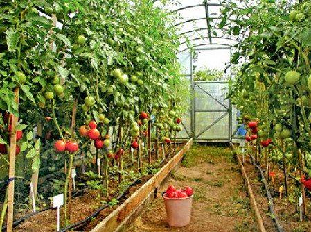 Высокорослые кусты помидор в теплице.