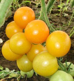 «Желтая вишня» - мелкоплодный сорт идетерминантного типа для тепличного выращивания.