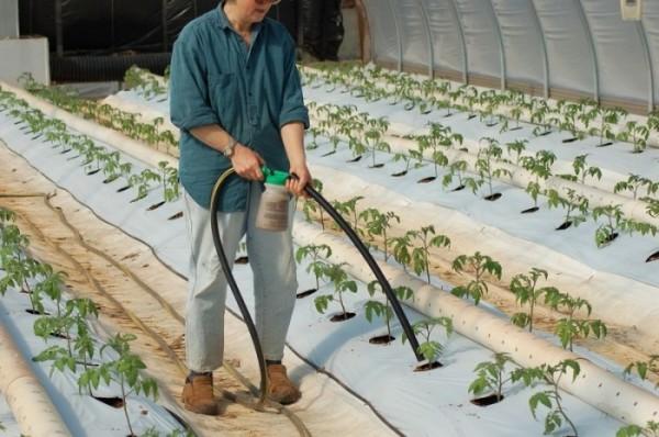 Без регулярного внесения удобрений об урожае томатов можно только мечтать
