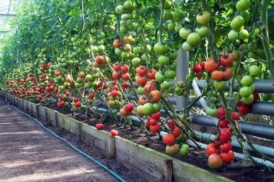 Даже в условиях сурового климата можно собрать хороший урожай помидоров