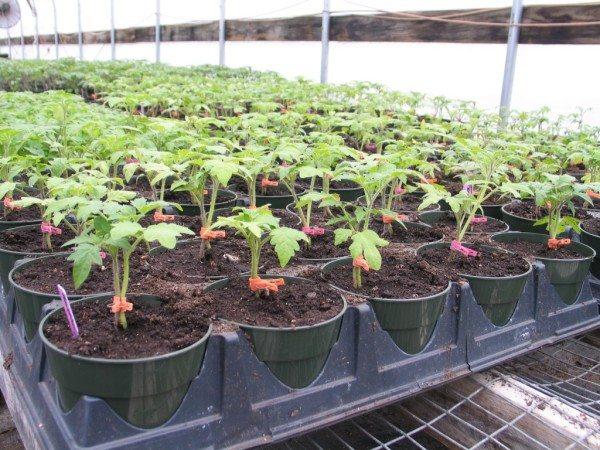 Достижение агрономии – 1 кустик томата питается от 2 корней.