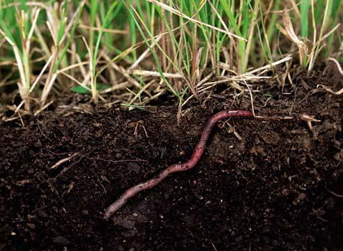Фото дождевого червя.