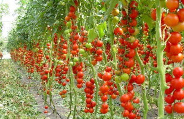 Фото индетерминантных томатов в парнике