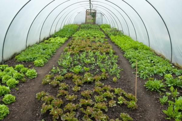 Фото Московского салата, выращиваемого в парнике
