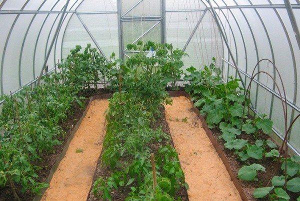 Фото огурцов и томатов в одной теплице