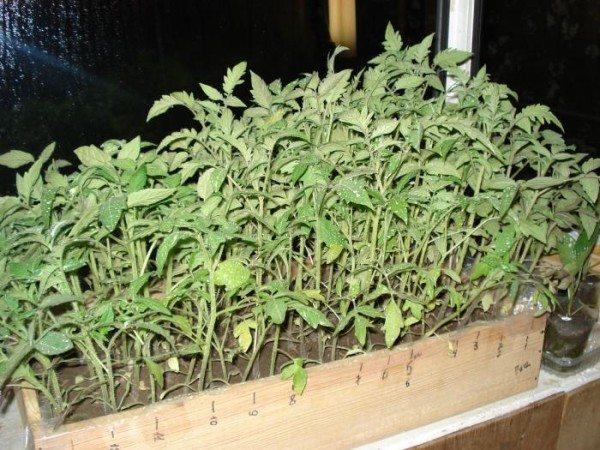 Фото рассадника с молодыми растениями