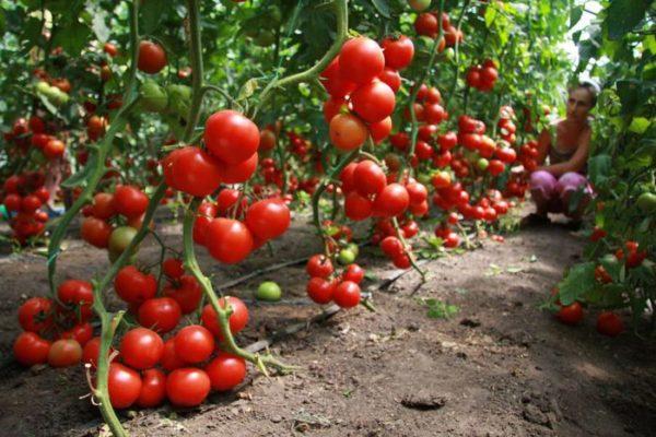 Фото созревших томатов в теплице