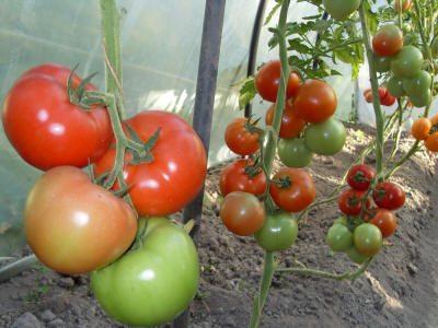 Фото томатов в теплице