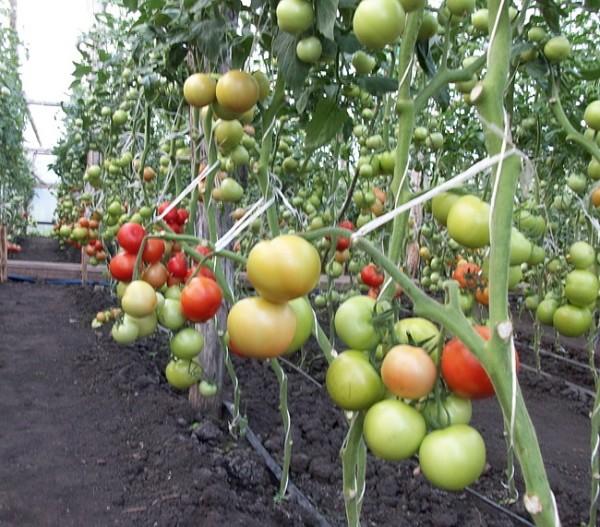 Индетерминантные, то есть высокорослые лиановые сорта - это самые урожайные томаты для высоких теплиц.