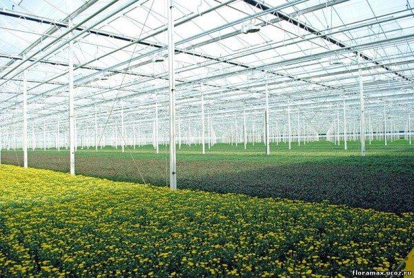 Как растут хризантемы в теплицах
