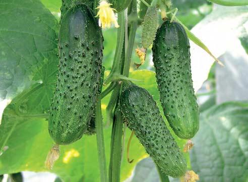 Лучший сорт огурцов для теплиц – тот, который устраивает огородника по всем параметрам