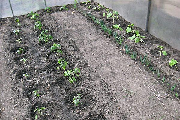 На фото - высадка рассады огурцов и томатов.