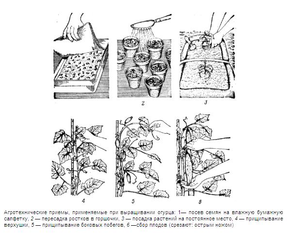 Сорта огурцов в теплице для Урала, лучшие огурчики для парников Сибири, посадка своими руками: инструкция, фото и видео-уроки, цена, Теплица и парник