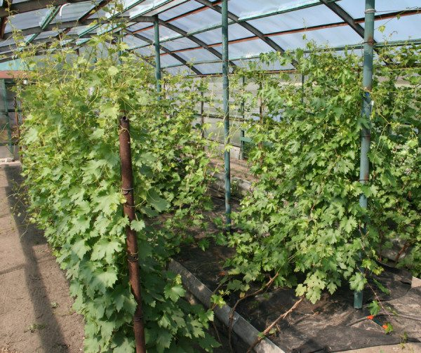 Настоящий виноградник в закрытом грунте