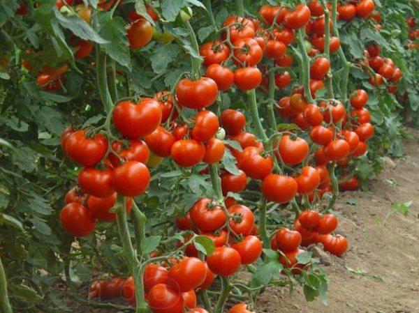 Низкорослые помидоры для теплиц экономят тепло, так как их мы высаживаем в низкие защищенные укрытия.