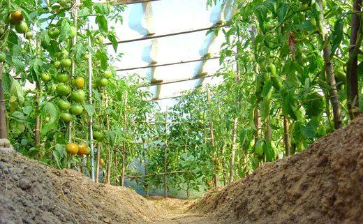 Плодородие грунта в теплице нужно поддерживать искусственно