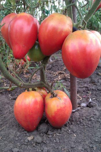 Плоды сорта Абаканский розовый