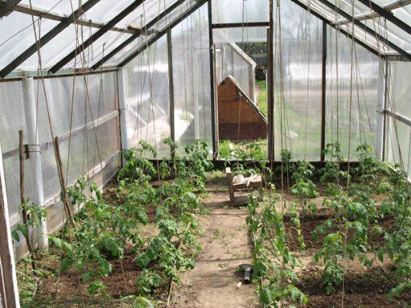 Подвязать томаты необходимо, им нужна опора