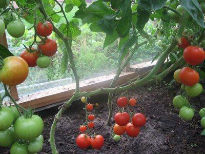 Пока в открытом грунте помидоры только завязываются, в парнике они уже начинают поспевать