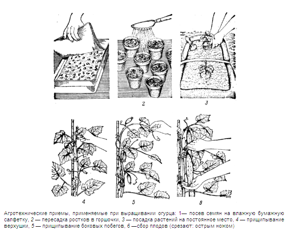 Пошаговый процесс выращивания огурцов.