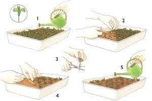 После появления 5 листочка обрезаем корень томата.