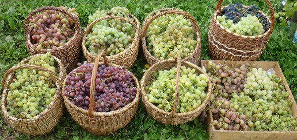 Повышенная урожайность винограда
