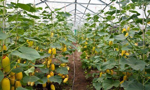 Промышленное выращивание овощей