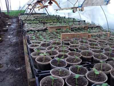 Срок высадки огурцов на рассаду 877