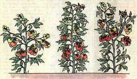 Разные формы кустов томата