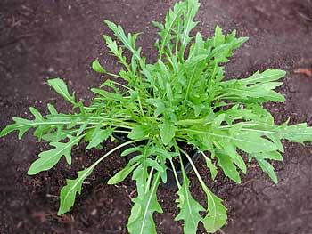 Рукола – ароматная трава с горчично-ореховым вкусом