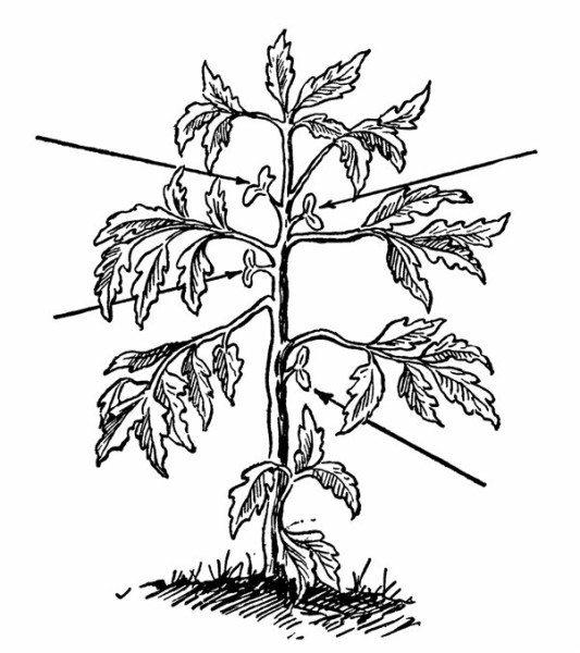Схема растения. Стрелками показаны пасынки.